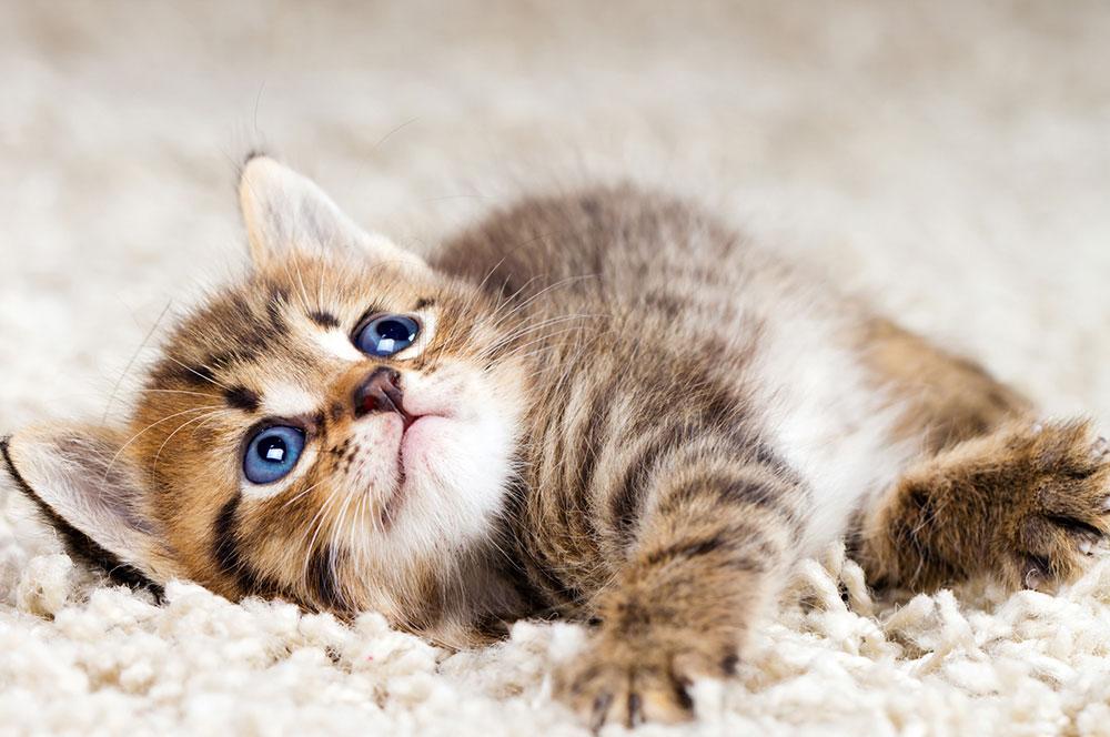 Kada se radi o ljubimcima tepih je najgora moguća opcija koju možete da odaberete, jednostavno zato što se lako uništi