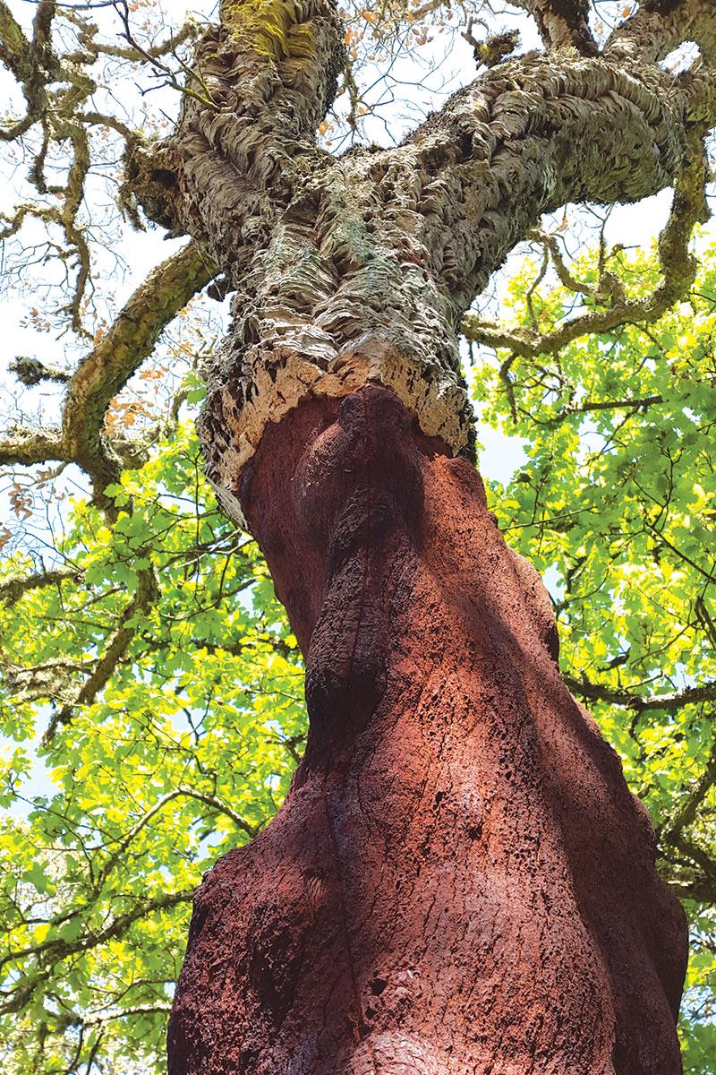 Pluta - kora drvne vrste Quercus suber